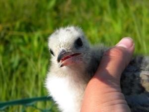 tern, chick, hand, sterna, hirundo