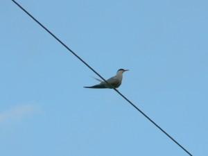 tern, telephone, line
