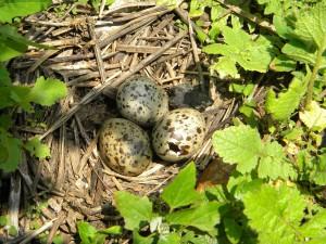 três, Trinta-réis-, ovos do ninho