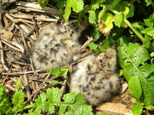 two, tern, chicks, nest
