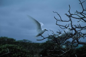 two, white, terns, perching, tree, branches