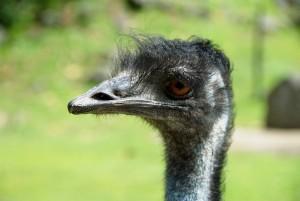 hlava, emu, pták
