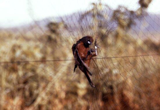 bird, net, later, tested, arbovirus, study
