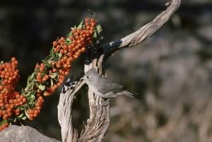 오크, 팃, 새, 앉아, 나무, 분 지, baeolophus inornatus