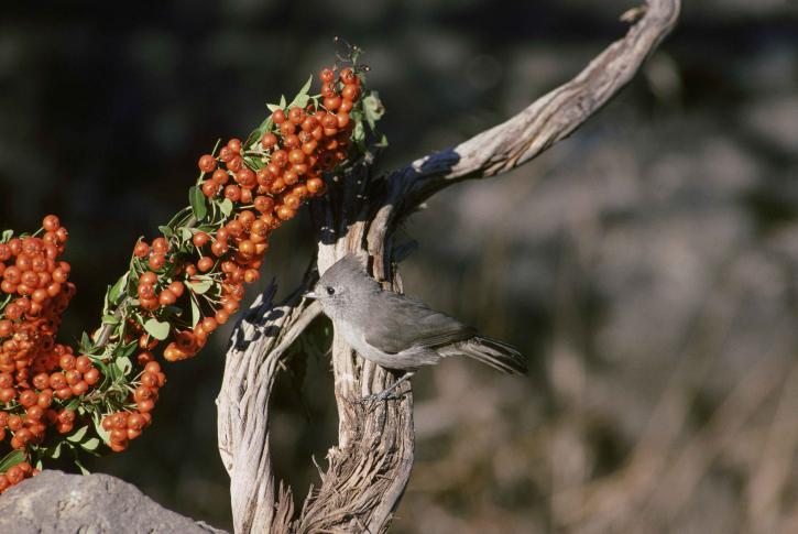 chêne, mésange, oiseau, assis, arbre, branche, Baeolophus, inornatus