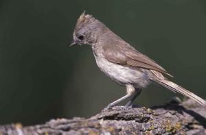 chêne, mésange, passereaux, oiseaux, Baeolophus, inornatus