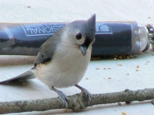 tufted, titmouse, up-close, bird