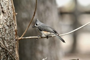 tufted, titmouse, assis, branche, Baeolophus, bicolor