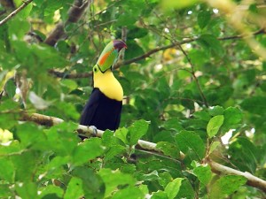 toucan, bird, maya, biosphere, reserve, central, Americas, biologically, diverse, ecosystem