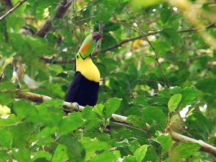 toucan, bird, maya, biosphere, reserve, central, Americas, biologically, diverse, ecosystem