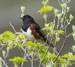 towhee, mâle, oiseau, Pipilo, erythrophthalmus