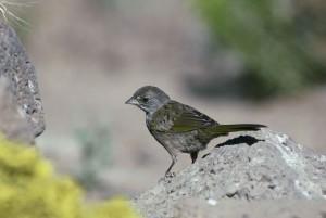 vert, queue, towhee, oiseau, rocher, Pipilo, chlorurus