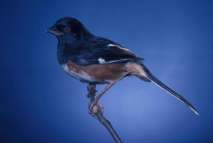 rufoues, dégrossi, towhee, oiseau, Pipilo, erythrophthalmus