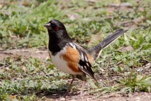 Towhee 鸟