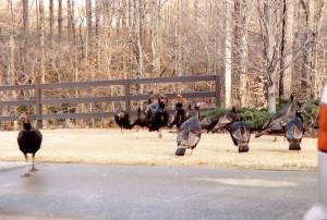 flock, wild, turkeys, meleagris, gallopavo