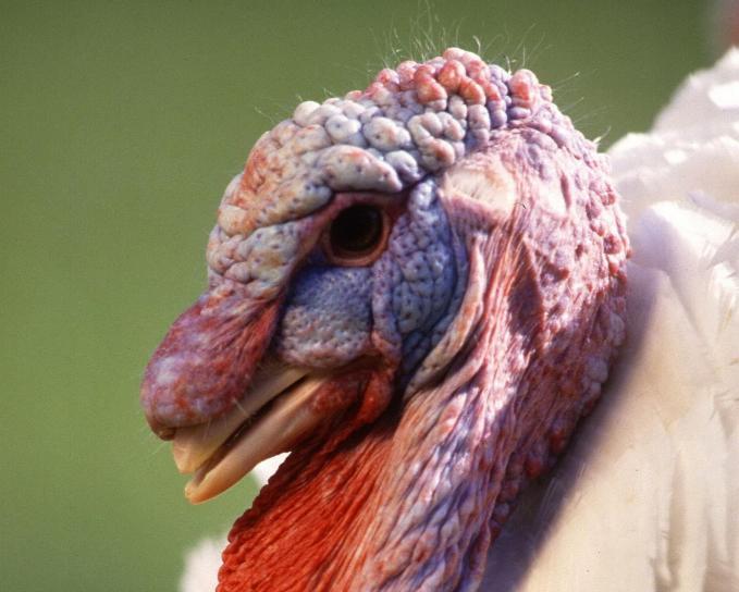 male, turkey, bird, head