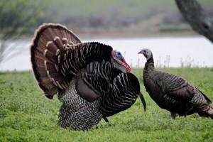 pair, wild, turkey, birds, male, female, breeding, plumage, meleagris, gallopavo