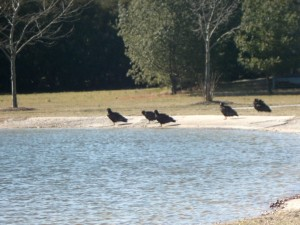 turkey, vultures, pond