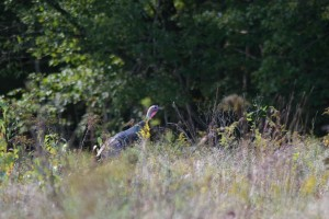 wild, turkey, tall, grass, meleagris, gallopavo
