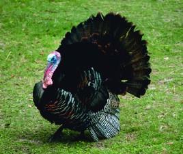 wild, turkey, male, breeding, plumage, meleagris, gallopavo