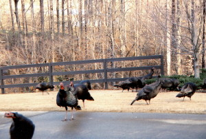 wild, turkeys, birds, animals, meleagris, gallopavo