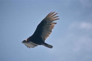 dinde, vautour, oiseau, petit, unfeathered, tête, accroché, facture, charognard, consommation, charognes