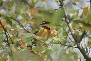varied, thrasher, bird, ixoreus, naevius