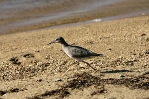 wandering, tattler, bird, running, beach, heteroscelus, incanus