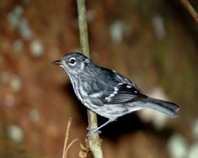 elfin, woods, warbler, bird, dendroica angelae