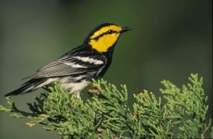 golden, cheeked, warbler, wood, warbler, bird, dendroica, chrysoparia