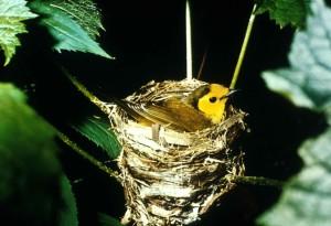 hooded, warbler