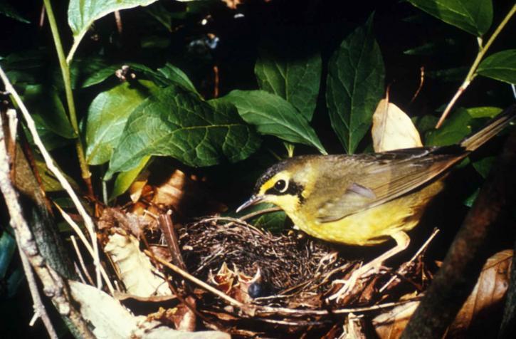 kentucky, warbler, bird