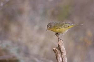 male, nashville, warbler, bird, vermivora, ruficapilla, standing, branch