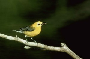 male, prothonotary, warbler, sings, branch, protonotaria, citrea