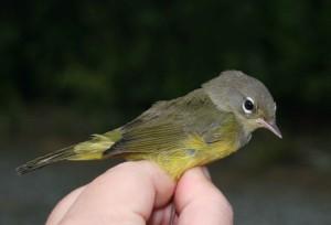 mourning, warbler, juvenile, bird, oporornis, philadelphia