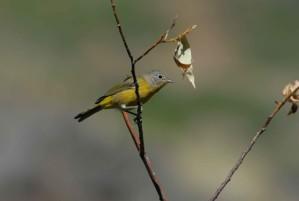 nashville, fauvette, oiseau, mâle, nu, branche, Vermivora, ruficapilla
