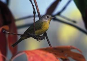 nashville, warbler, bird, vermivora, ruficapilla