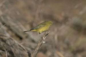 male, orange, crowned, warbler, bird, sitting, twig