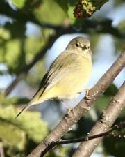 orange, crowned, songbird, warbler, vermivora celata