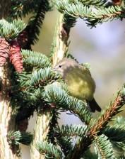 orange, crowned, warbler, bird, sitting, branch, vermivora celata, celata