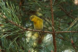 pine, warbler, bird, dendroica pinus, evergreen, branch
