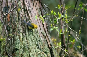 prothonotary, warbler, bird, tree