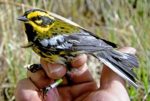 townsend, warbler, bird, hand, dendroica, townsendi