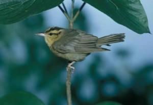 σκουλήκι, τρώγοντας, ωδικό πτηνό, helmitheros, vermivorum, δέντρο, υποκατάστημα