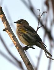 up-close, yellow, rumped, warbler, bird, tree