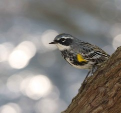 up-close, photo, yellow, rumped, warbler, dendroica, coronata