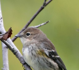 yellow, rumped, warbler, up-close, body, head