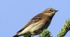 yellow, rumped, warbler, dendroica, coronata, female, bird