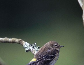 yellow, rumped, warbler, winters, farther, warbler