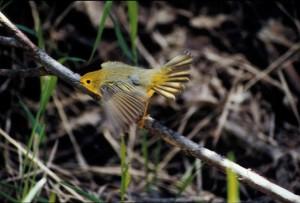 warbler, branch